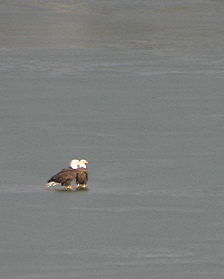 Bald eagles on the lake